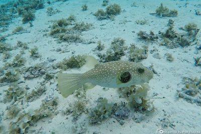 Ein Kugelfisch