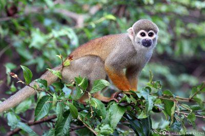 A monkey in a tree