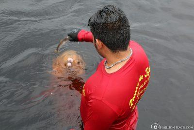 Ein Amazonas-Flussdelfin