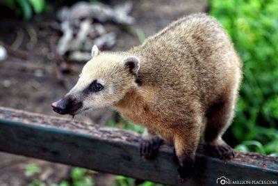 A nasal bear