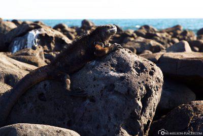 Marine Iguanas on Galapagos