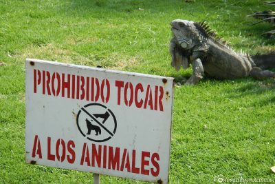 Die Leguane im Park Seminario