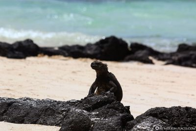 Marine iguanas on the beach