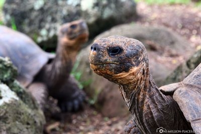 Giant tortoises on Floreana