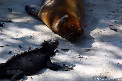 Sea Lion & Iguana at the Port