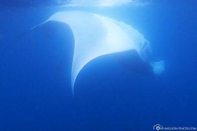 Ein Riesenmanta