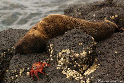 Ein Seelöwenbaby