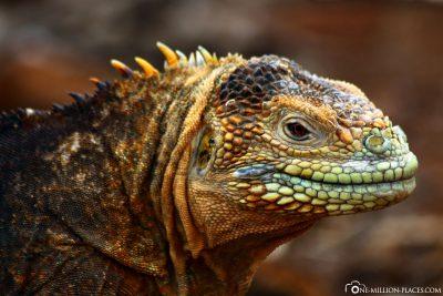 Iguanas on Galapagos