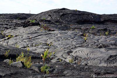 Die Lavafelder in Kalapana