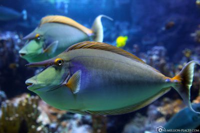 A giant nose doctorfish