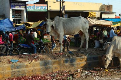 The cows in the garbage on the streets of Agra