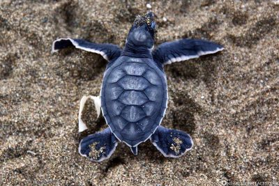 Little Baby Turtle