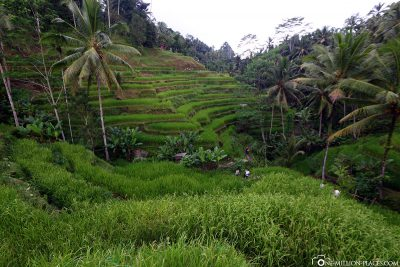 The travel terraces in Ubud
