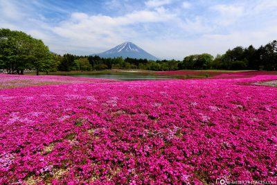Die Blumenfelder des Shibazakura Festivals