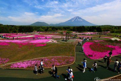 Blick über das Shibazakura Festival