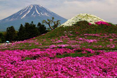 Shibazakura Festival mit dem Mount Fuji