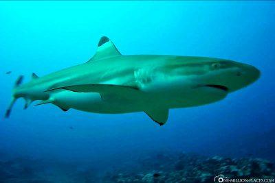 A reef shark very close