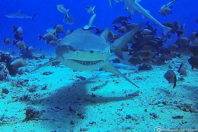 A lemon shark
