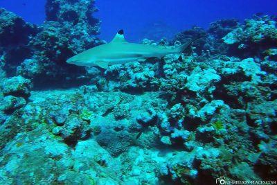 A Blacktip Reef Shark