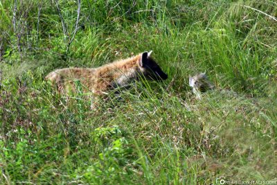 A hyena with a kitten