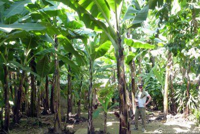 Ein Bananenwald im Vorgarten