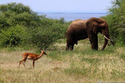 An elephant bull