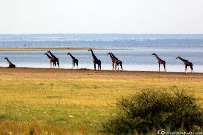 9 giraffes around the shores of Lake Manyara