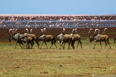 Wildebeest & Flamingos