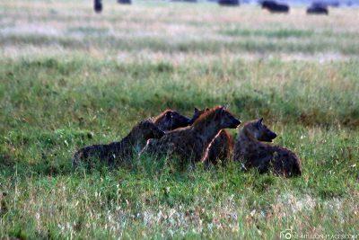 Hyänen bei einem toten Zebra
