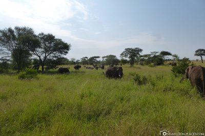 Eine wirklich große Elefantenherde