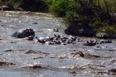 A group of hippos in the water
