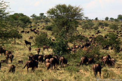 Many wildebeest