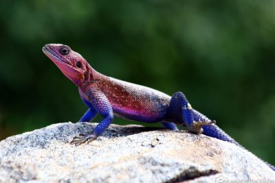 A colorful gecko
