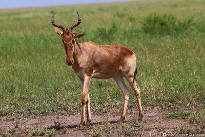 Eine Gazelle