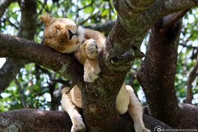 A lioness on a tree