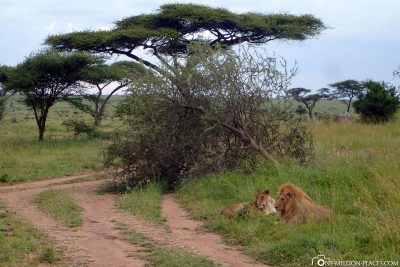 A lion couple on the side of the road