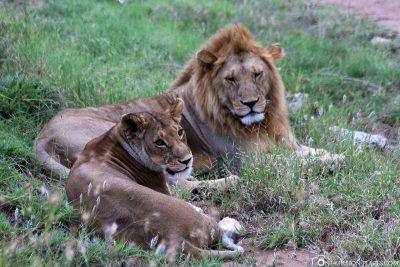 Ein Löwenpärchen am Wegesrand