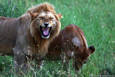 Löwen beim Flehmen