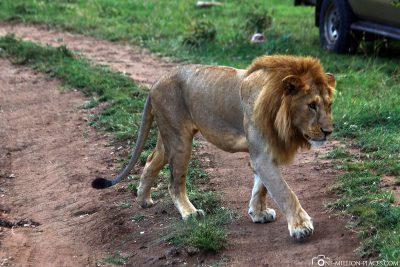 Der Löwe direkt an unserem Auto