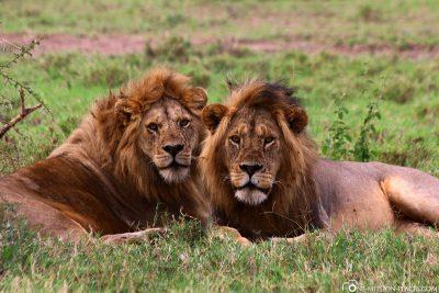2 Löwenmännchen