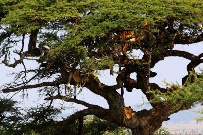 A tree with lions