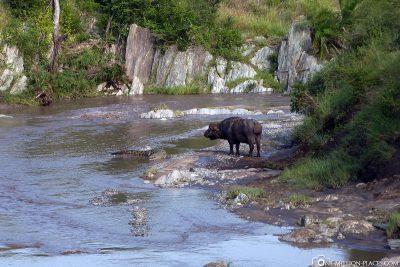 Wasserbüffel trifft auf Krokodil