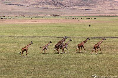 Eine Giraffenherde