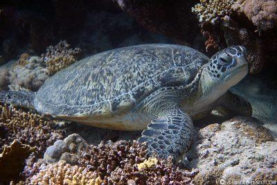 Eine Schildkröte