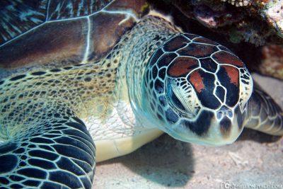 Nahaufnahme einer Schildkröte