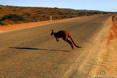 A kangaroo hops across the street
