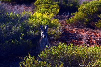 Kangaroos in Cape Range National Park