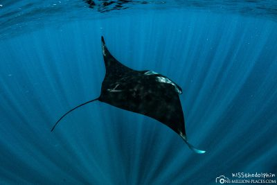 Swimming with a manta on Ningaloo Reef