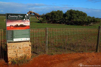 Der Leaning Tree bei Geraldton