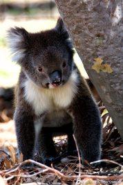 Laufender Koala